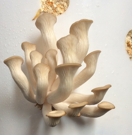 Phoenix oyster mushrooms, C-Port Mushrooms (Savannah, Georgia)